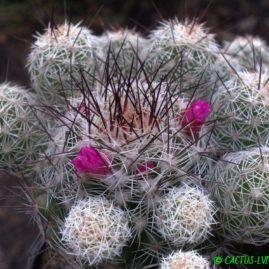 Mammillaria gracilis cv.Antje. Власник: Я.П.Джура. Фото: Я.П.Джура.