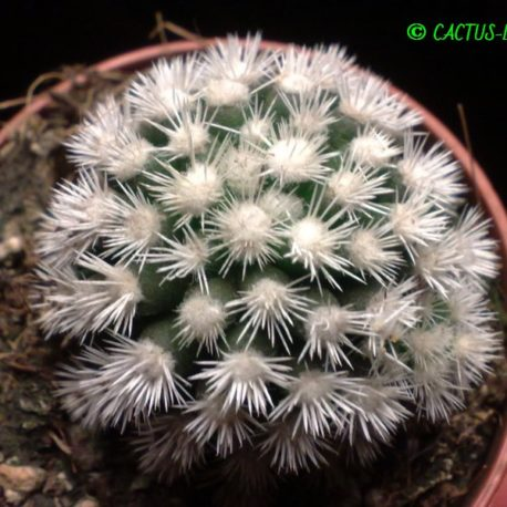 Mammillaria gracilis cv.Arizona Snowcap